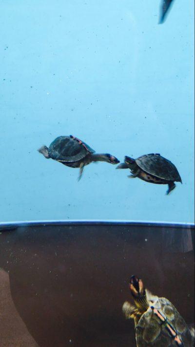 ヘサキリクガメの子亀