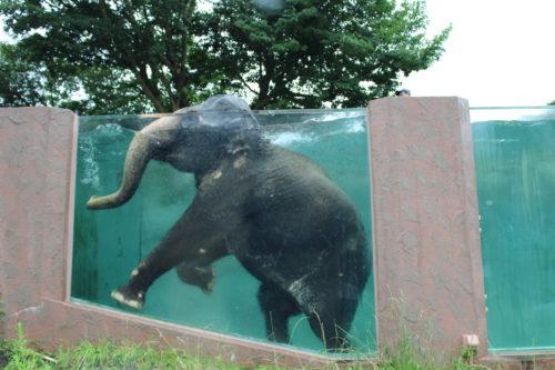 富士サファリパーク 泳ぐ象