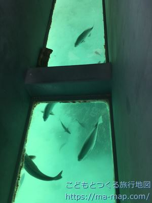 川平湾 グラスボート 魚